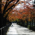 山崎川の紅葉